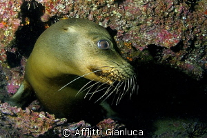 sea lion by Afflitti Gianluca 